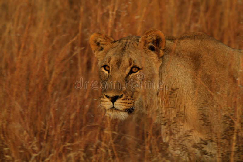 Lioness Stalking In The Long Grass Stock Photo - Image of ...