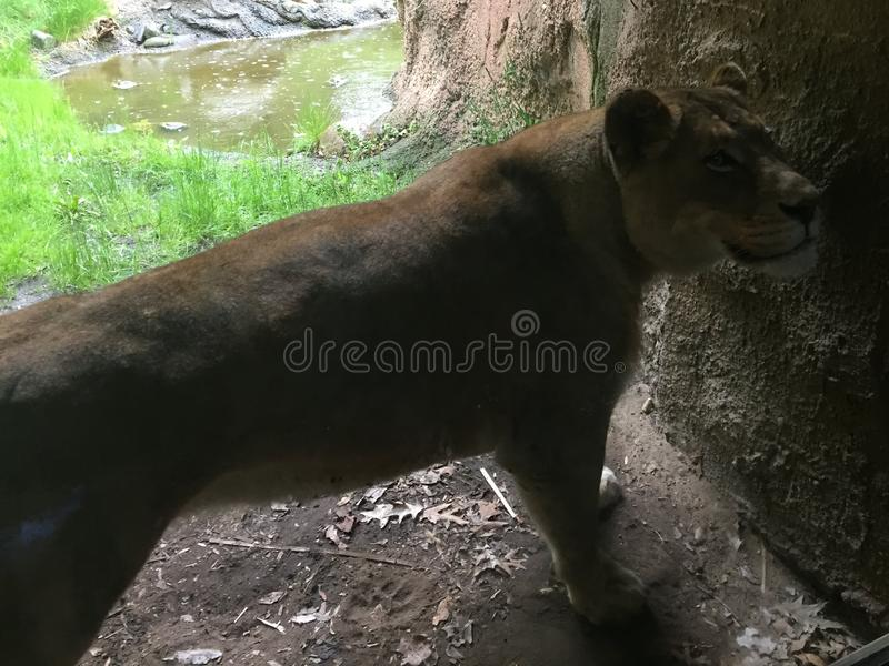 Lioness stretched out along a wall surveying her domain royalty free illustration