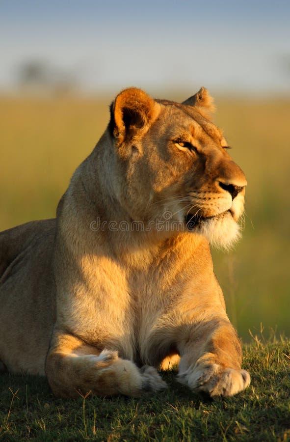 Lioness sudafricano immagine stock libera da diritti