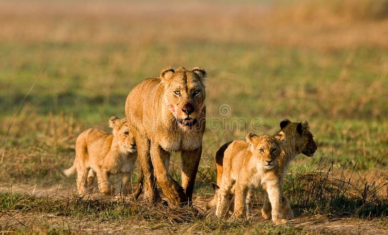 Lioness with three cubs. The lioness after hunting conducts cubs to prey stock photos