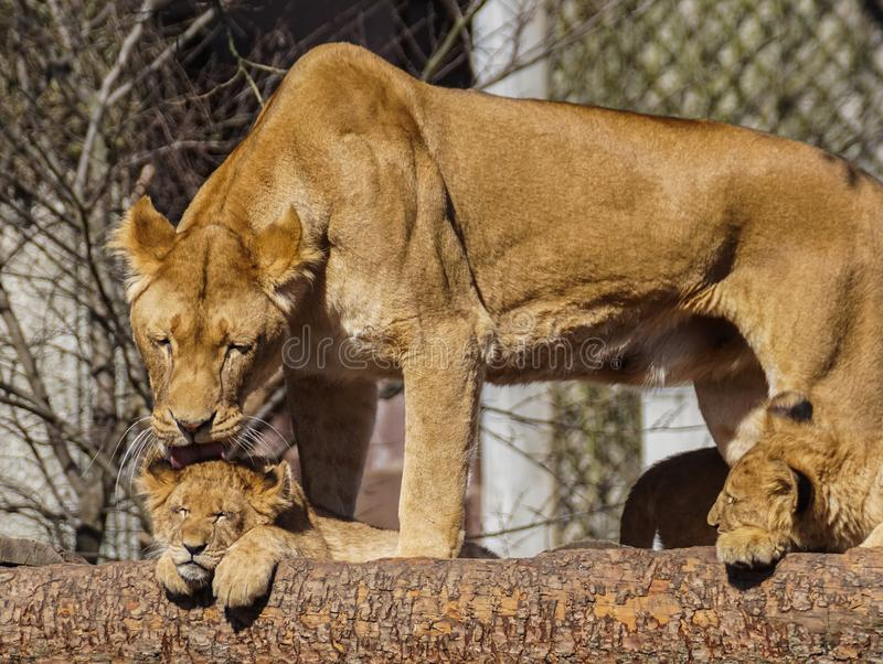 Lioness and cubs. Lioness and two cubs in captivity stock images
