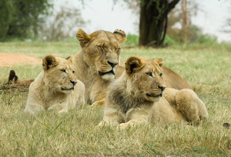 A lioness and cubs. A lioness and two cubs photographed in Pilanesberg National Park, South Africa stock images