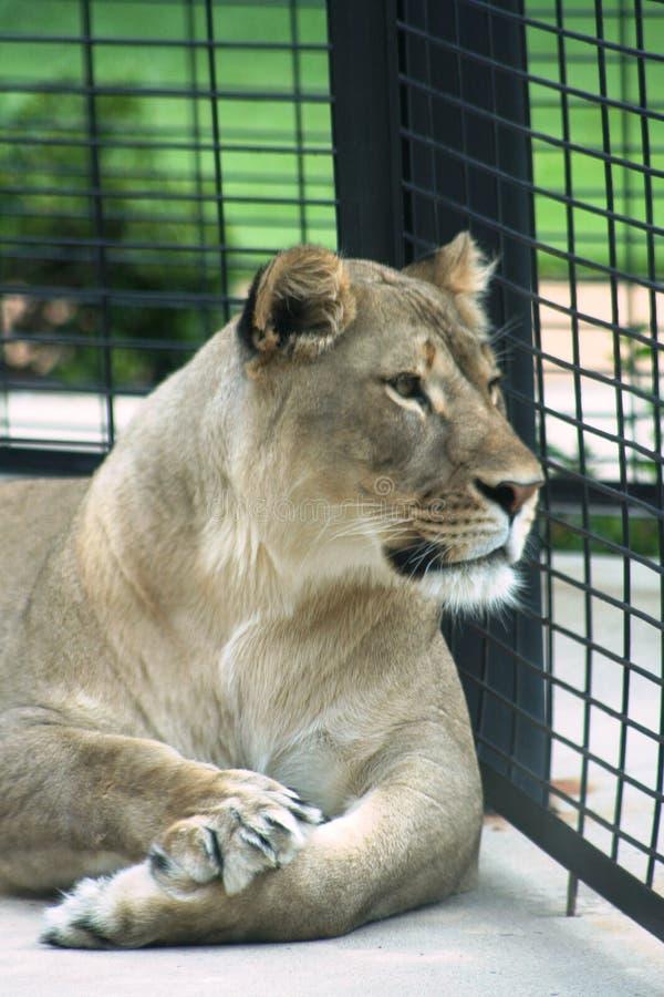 Lioness in una gabbia fotografia stock libera da diritti