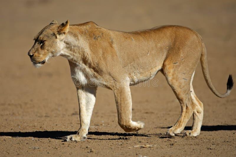 Lioness walking. Lioness (Panthera leo) walking, Kalahari desert, South Africa stock photos