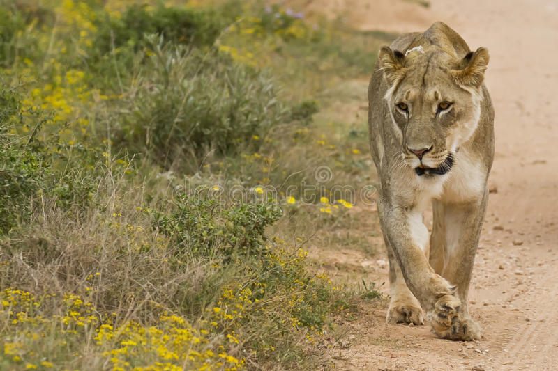 Lioness walking. Next to a gravel road in the summer sun stock photography