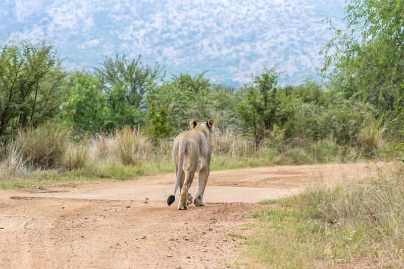 Lioness walking on a dirt road. In Pilanesberg national park stock photography