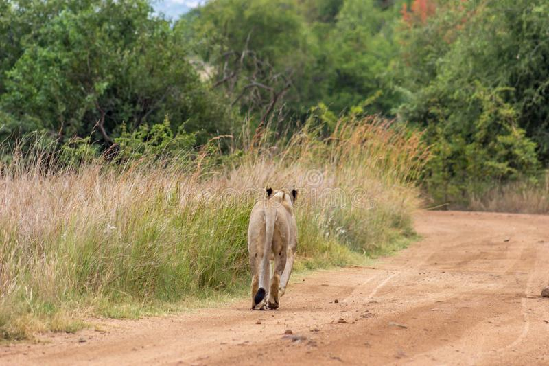 Lioness walking on a dirt road. In Pilanesberg national park royalty free stock image