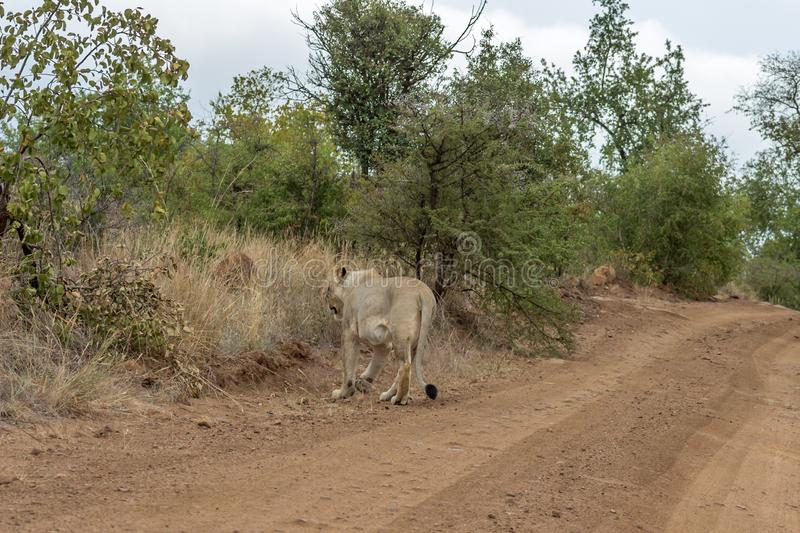 Lioness walking on a dirt road royalty free stock image