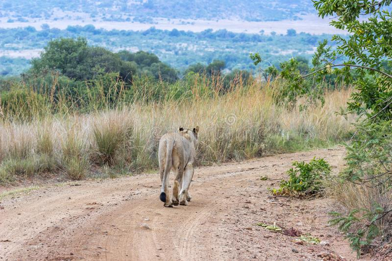 Lioness walking on a dirt road stock photography