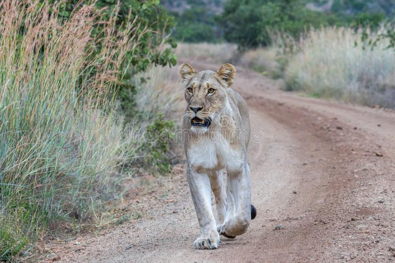 Lioness walking on a dirt road. In Pilaneberg National park stock photos