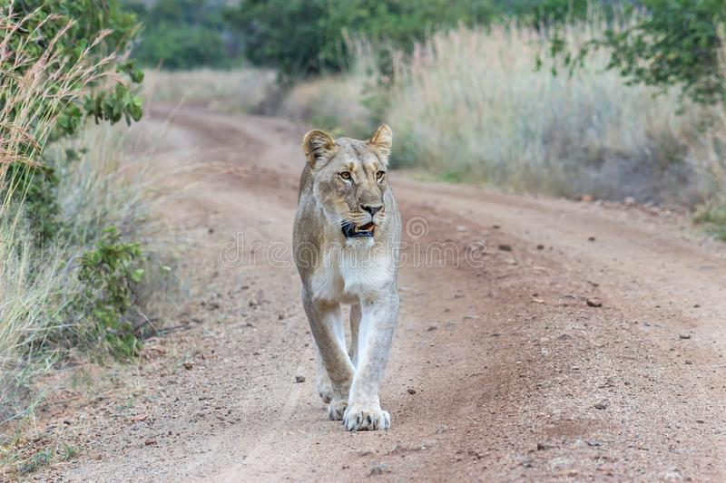 Lioness walking on a dirt road. In Pilanesberg national park stock photos