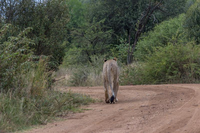 Lioness walking on a dirt road. In Pilanesberg national park stock photo
