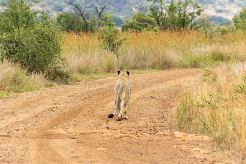 Lioness walking on a dirt road . Lioness walking on a dirt road In Pilanesberg National park royalty free stock image