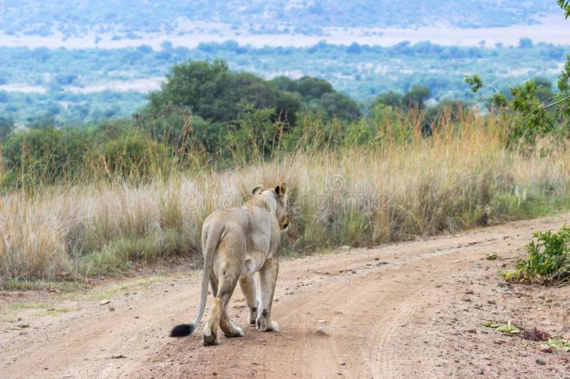 Lioness walking on a dirt road. In Pilanesberg national park stock image
