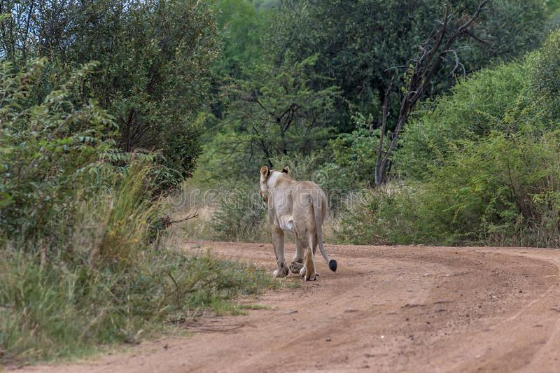 Lioness walking on a dirt road. In Pilanesberg national park royalty free stock images