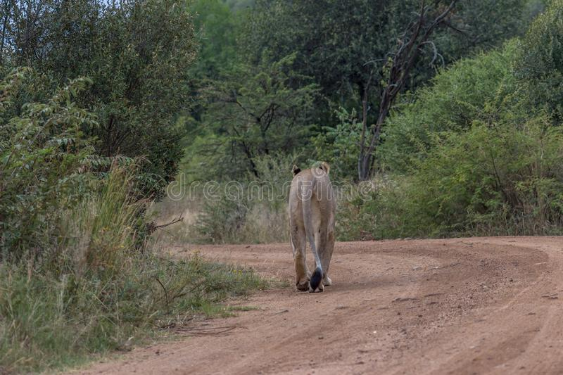 Lioness walking on a dirt road. In Pilanesberg National park royalty free stock photography