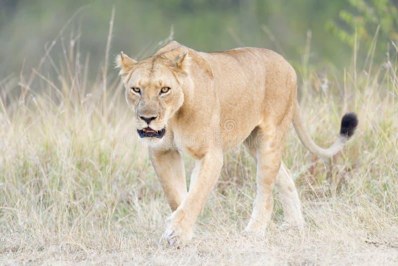 Lioness walking in grass. Lioness Panthera leo, walking on savanna, Serengeti national park, Tanzania stock photography