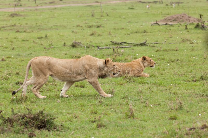 A lioness walking in the Maasai Mara. A lioness walking on the grasslands of the Maasai Mara stock images