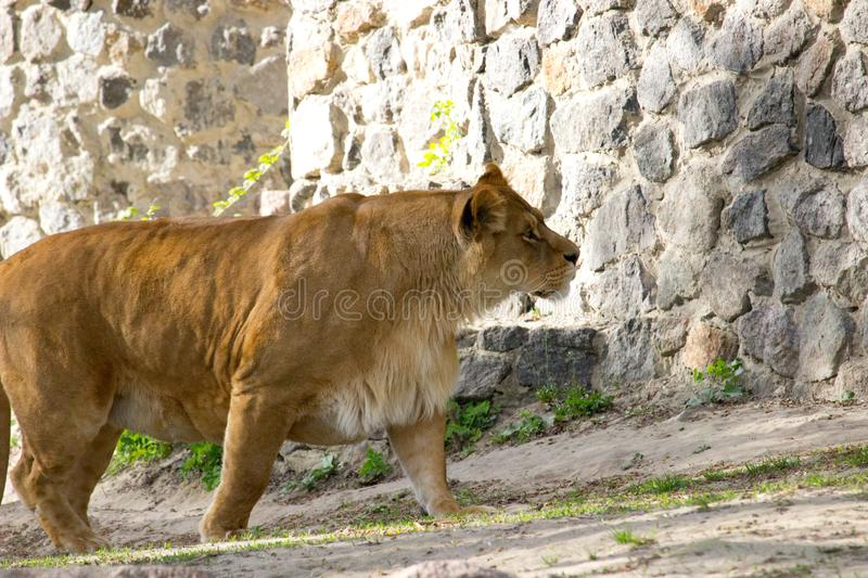 Lioness walking. On a summer day. Wild animal stock photos