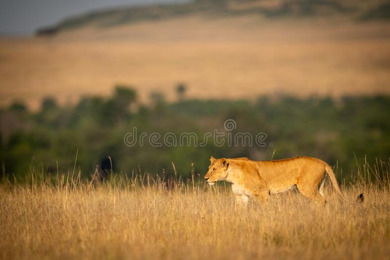 Lioness walking in long grass on horizon royalty free stock photos