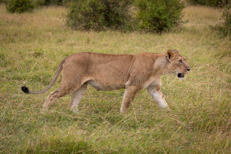 Lioness walking through long grass near bushes stock image