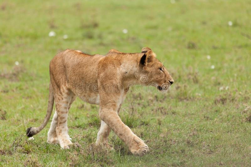 A lioness walking in the Maasai Mara. A lioness walking on the grasslands of the Maasai Mara stock photography