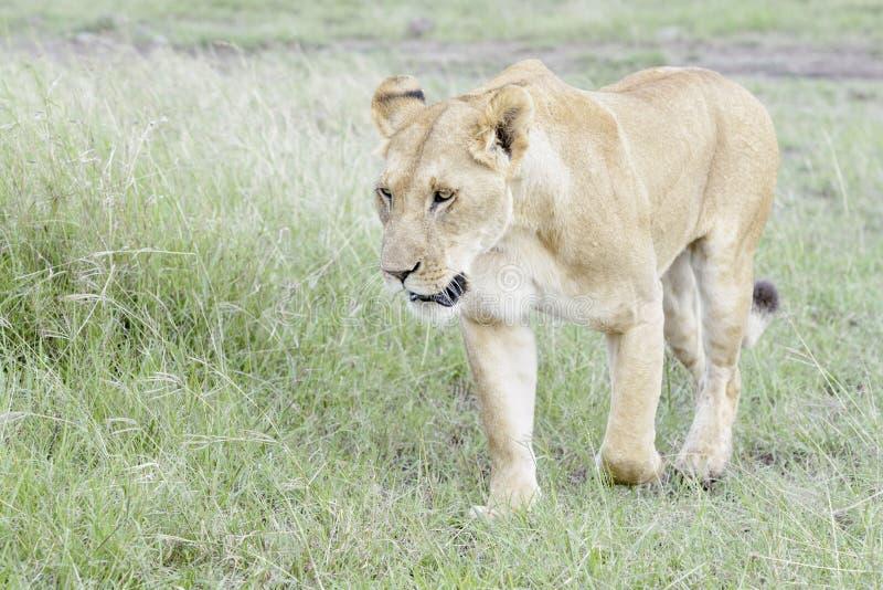 Lioness walking on savannah, close-up. Lioness Panthera leo walking in savannah, Masai Mara, Kenya stock image