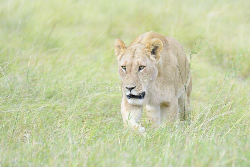 Lioness walking on savannah, close-up. Lioness Panthera leo walking in savannah, through high grasses, Masai Mara, Kenya stock photo