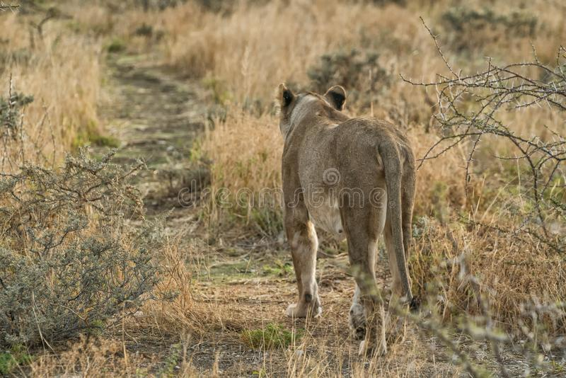 Lioness walking on savannah view from behind. Namibia. Africa. Africa stock photography