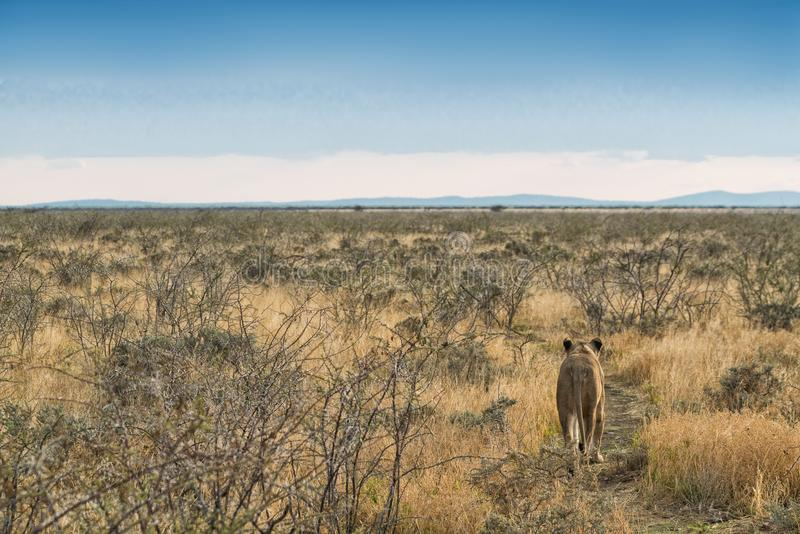 Lioness walking on savannah view from behind. Namibia. Africa. Africa royalty free stock photo