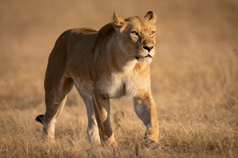 Lioness walking on short grass looking ahead stock photos