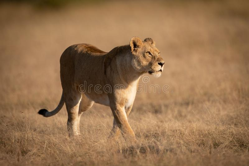 Lioness walking on short grass looking right royalty free stock photo