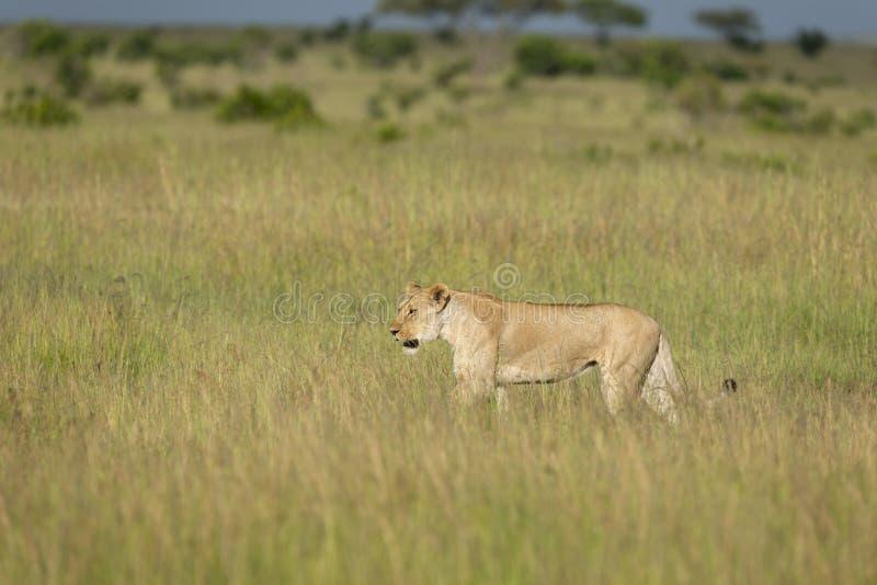 Lioness walking in tall grass at Masai Mara Game Reserve,Kenya. Africa royalty free stock image