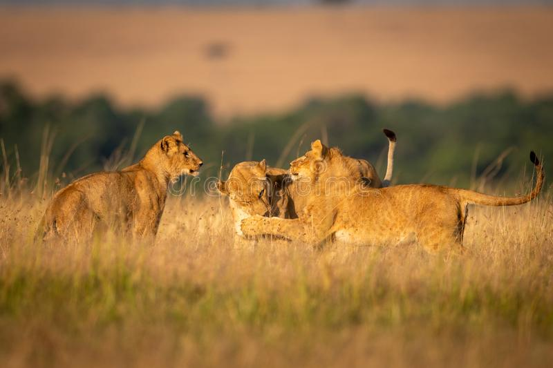 Lioness watches as two others play fight stock photography