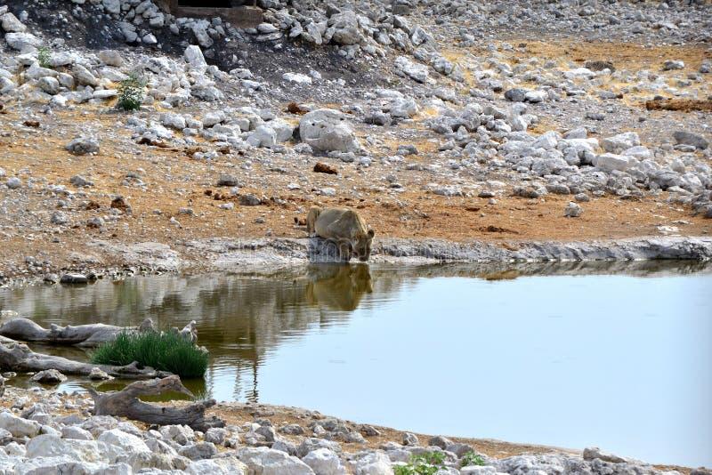 Lionesse woda pitna w Etosha parku, Namibia obrazy royalty free