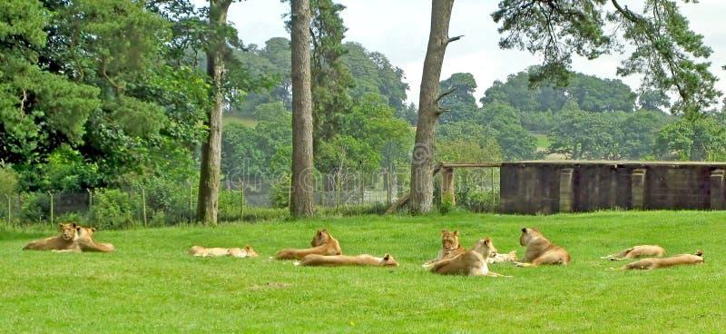 Download Lionesses stock photo. Image of animals, mane, mammals - 13282326