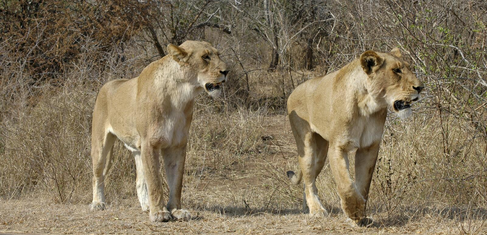 Download Lionesses stock photo. Image of animals, watchful, lioness - 16511236