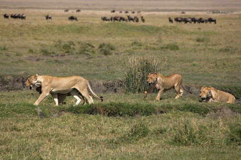 Download Lionesses arkivfoto. Bild av lion, kenya, tanzania, safari - 504966