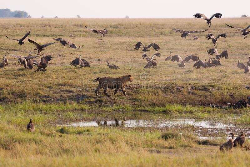 Lionesses chasing vultures from a kill. Chobe National Park, Botswana royalty free stock photo