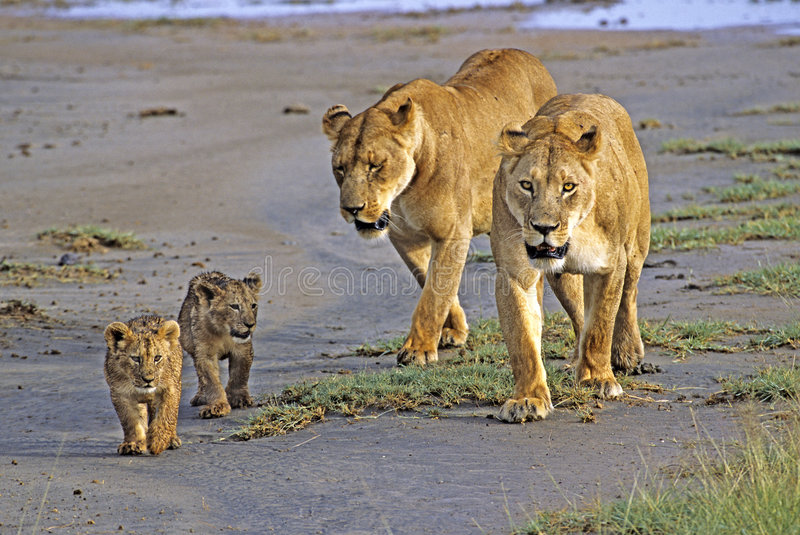 Lionesses with Cubs. In the Ngorongoro Crater, Tanzania stock photos