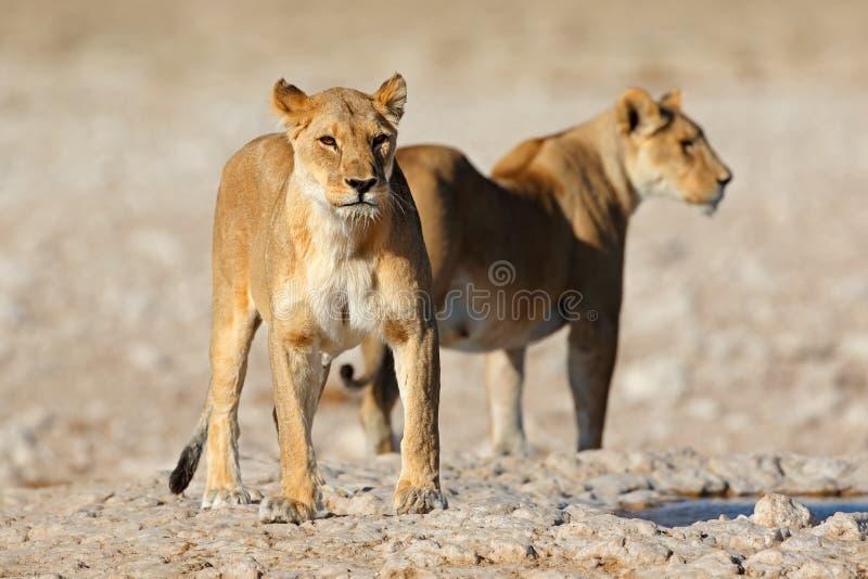 Lionesses dans un trou d'eau - Etosha image stock