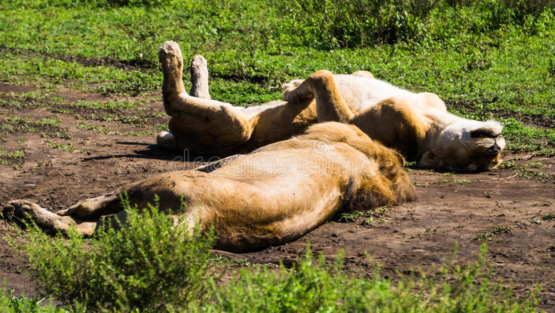 Lionesses napping. Lioness laying on her back with feet up, napping with another lioness in the afternoon royalty free stock image