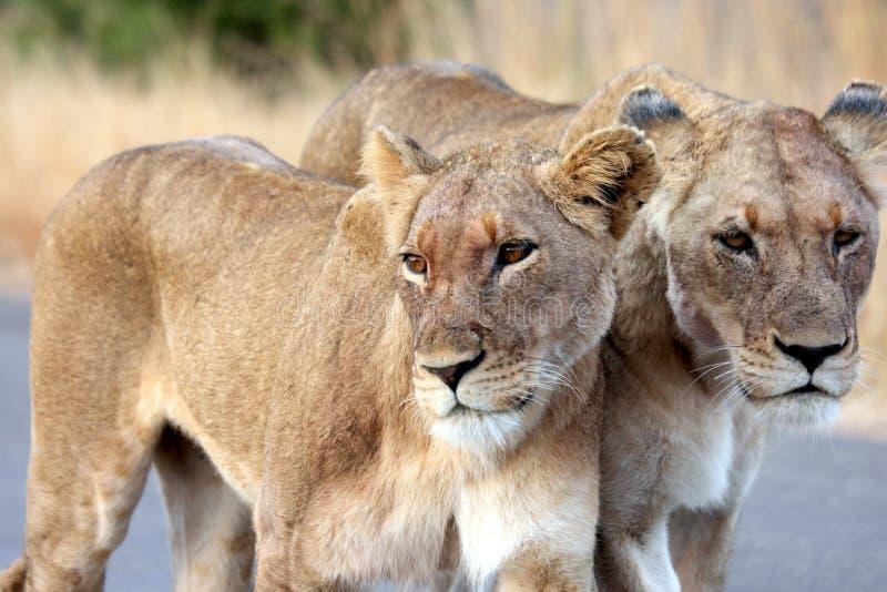 Lionesses Portrait stock photo