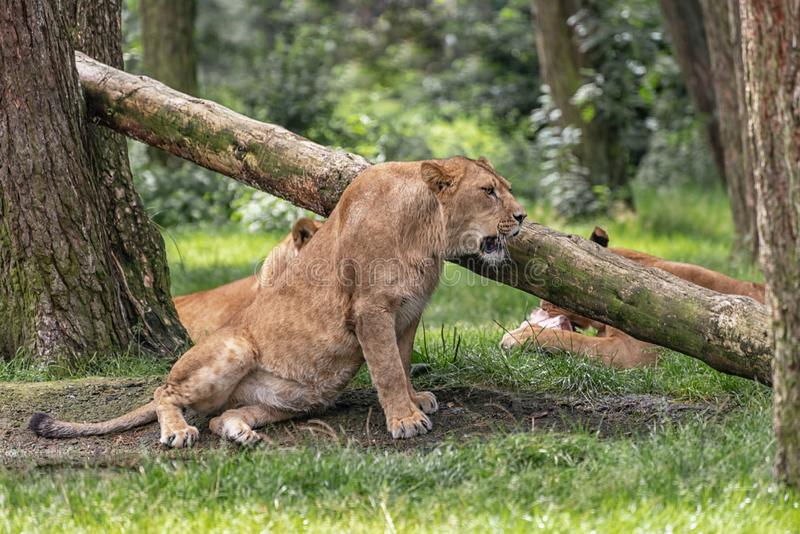 Lionesses are resting between trees. Landscape in safari park stock image