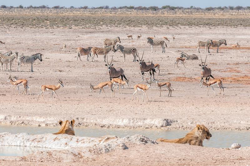 Lionesses watching oryx, springbok and Burchells zebras. Two lionesses watching oryx, springbok and Burchells zebras at a waterhole royalty free stock photo