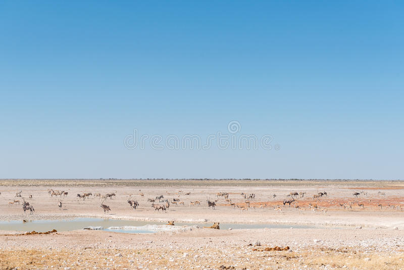 Lionesses watching oryx, springbok and Burchells zebras. Two lionesses watching oryx, springbok and Burchells zebras at a waterhole royalty free stock photography