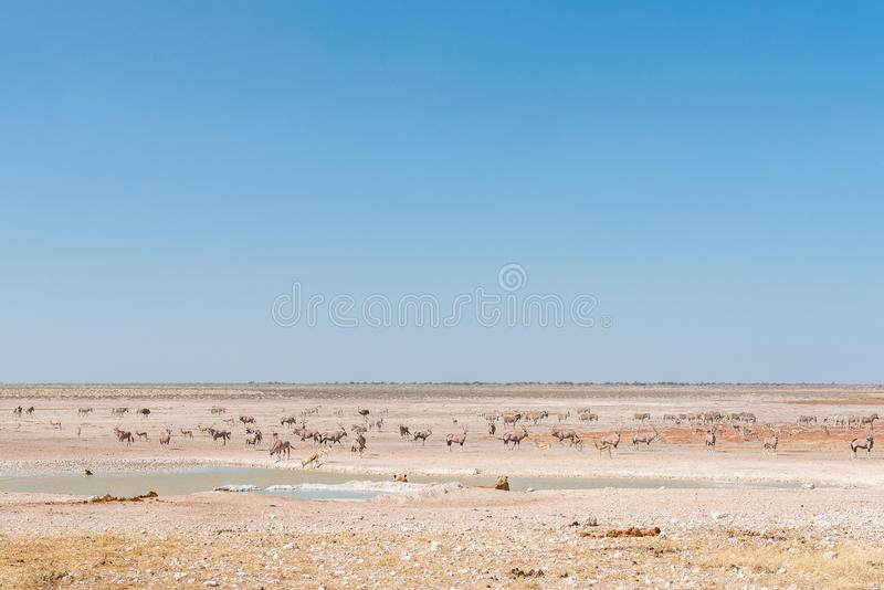 Lionesses watching oryx, springbok, ostrich and Burchells zebras. Two lionesses watching oryx, springbok and Burchells zebras at a waterhole in Northern Namibia royalty free stock image