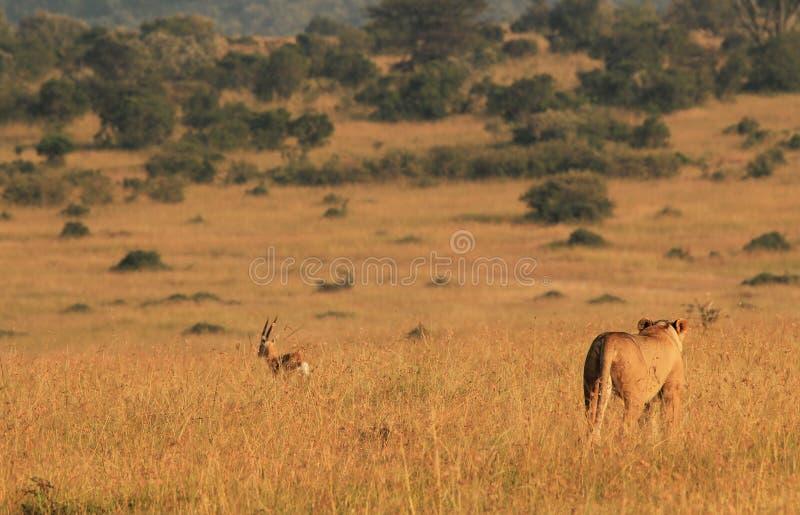 Lionessjakt royaltyfria bilder