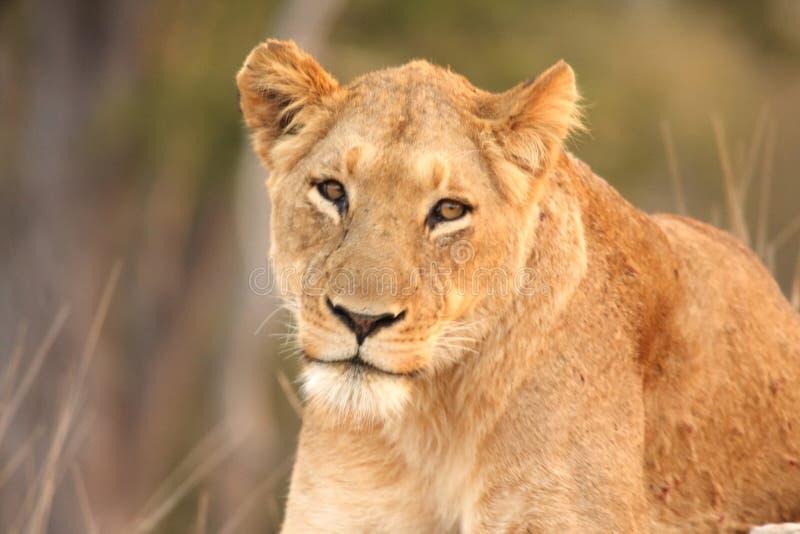 lionesssabisands royaltyfri bild