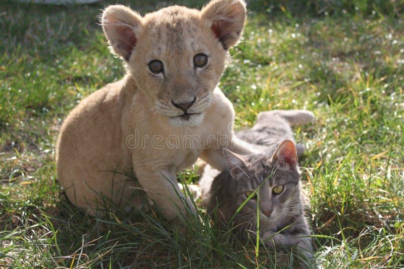 lionet e gato imagem de stock royalty free